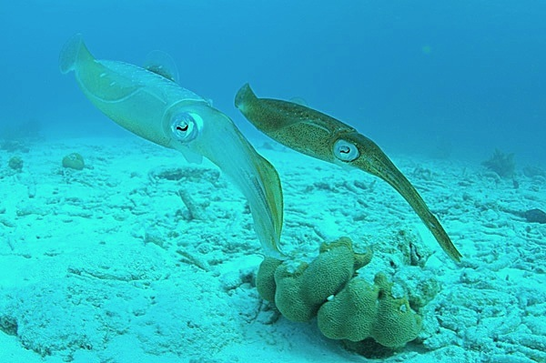 Two_Caribbean_Reef_Squid,(Clark Anderson)