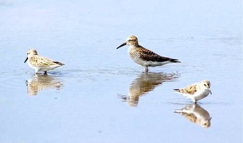 White-rumped Sandpiper + 2 semi-palmated(Woody Bracey)1 copy 2