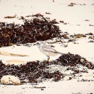 Tuna the Piping Plover: from New Jersey to Abaco (Rhonda Pearce)