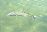 Bonefish Abaco Marls 4