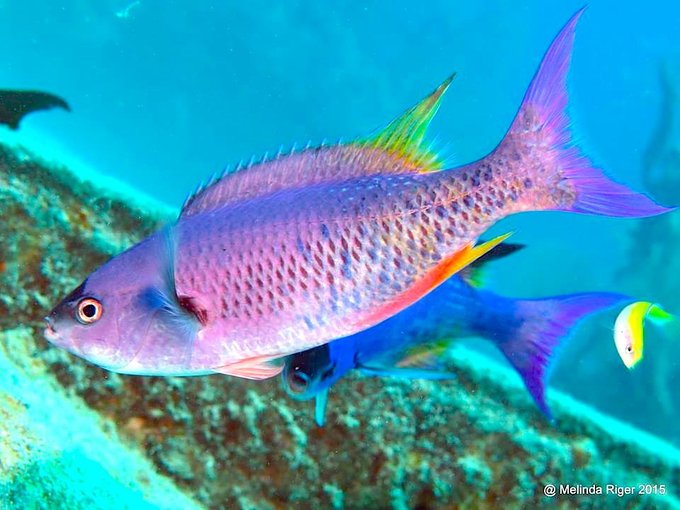 Clepticus parrae (Creole Wrasse)