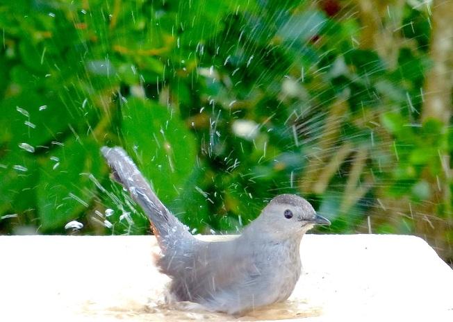 Gray Catbird, Delphi, Abaco (Keith Salvesen)