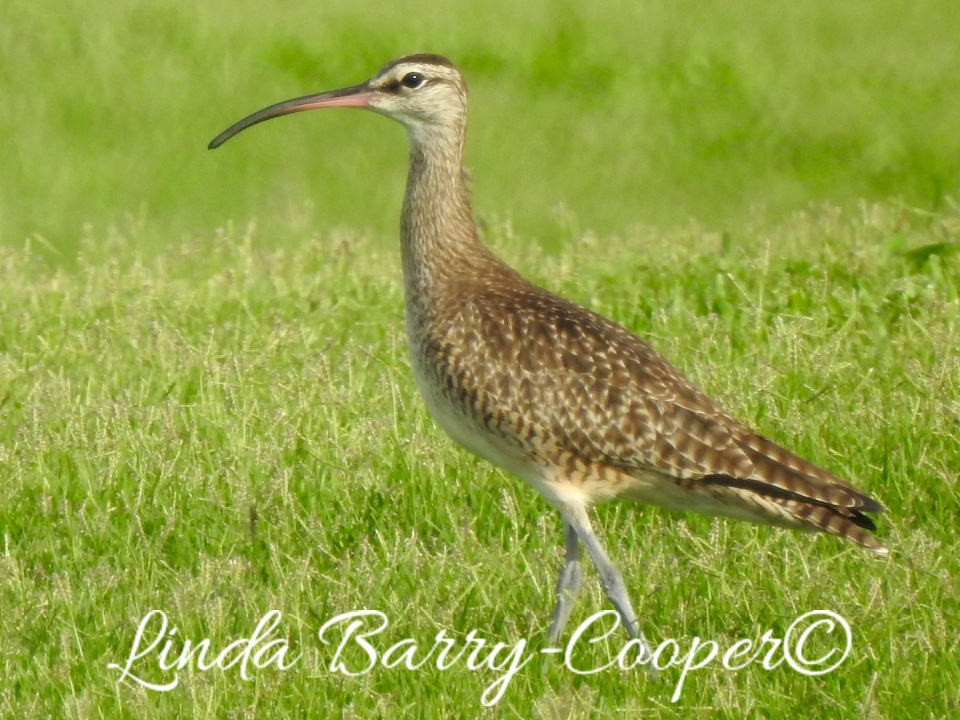 Whimbrel, West End, Grand Bahama 1 Sep 2015 (Linda Barry Cooper)