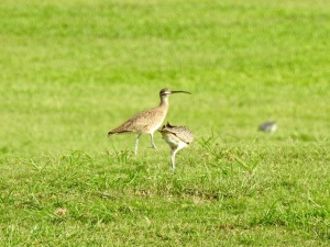 Whimbrel, West End, Grand Bahama 2 Sep 2015 (Linda Barry Cooper)