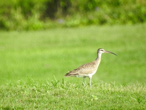 Whimbrel, West End, Grand Bahama 3 Sep 2015 (Linda Barry Cooper)