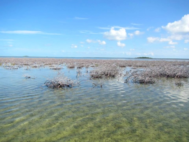 Mangrove Die-back 1 (Abaco Scientist : Ryann Rossi)