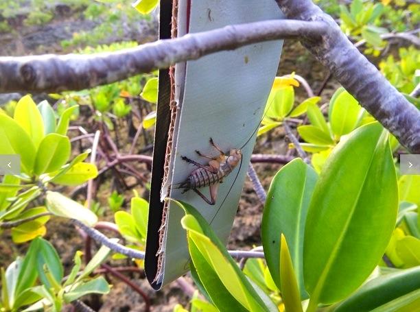 Mangrove Die-back 3 (Abaco Scientist : Ryann Rossi) jpg