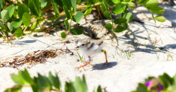 meg-beach-pea PIPL chick π Northside Jim LBI NJ