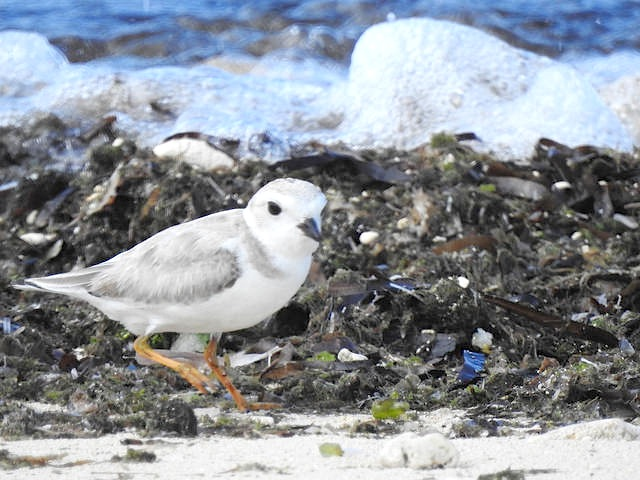 Piping Plover, West End, Grand Bahama (Linda Barry-Cooper)