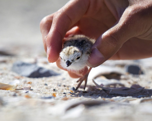 picking-up-piping-plover chick1 π Northside Jim LBI NJ