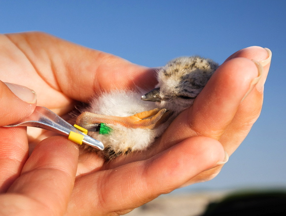 piping-plover-chick-banding-lbi π Northside Jim LBI NJ
