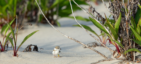piping-plover-sit-in-dune π Northside Jim LBI NJ