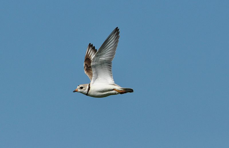 _Piping_Plover_on_the_Fly (USFWS Mountain-Prairie wiki)