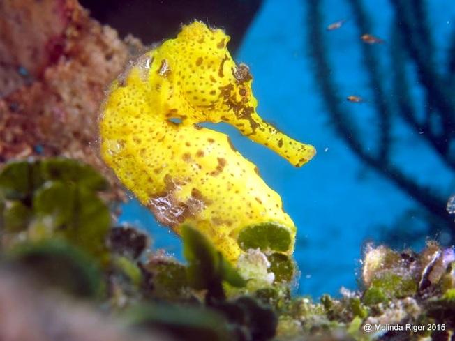 Seahorse (Bahamas) 1 ©Melinda Riger @G B Scuba