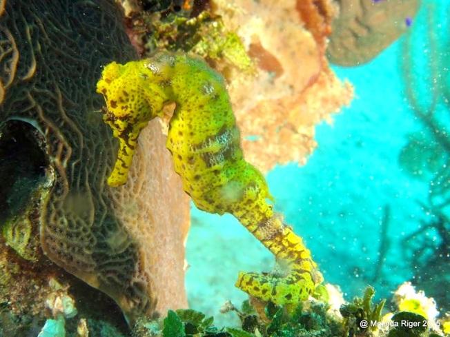 Seahorse (Bahamas) 2 ©Melinda Riger @G B Scuba