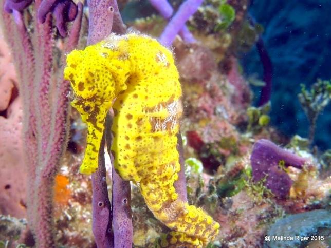 Seahorse (Bahamas) 3 ©Melinda Riger @G B Scuba