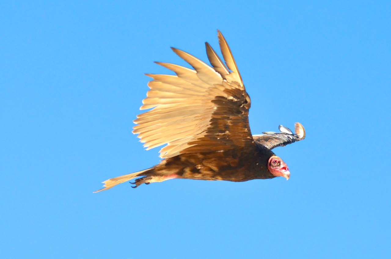 Turkey Vulture in flight, Abaco Bahamas (Charlie Skinner)