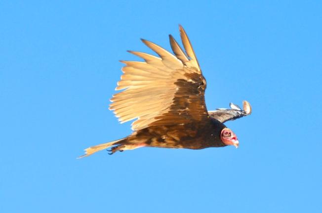 Turkey Vulture, Abaco (Charlie Skinnner)