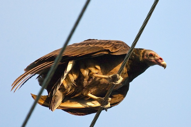 Turkey Vulture, Abaco (Craig Nash) 2