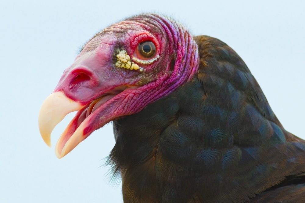 Turkey Vulture Abaco Bahamas (Craig Nash)