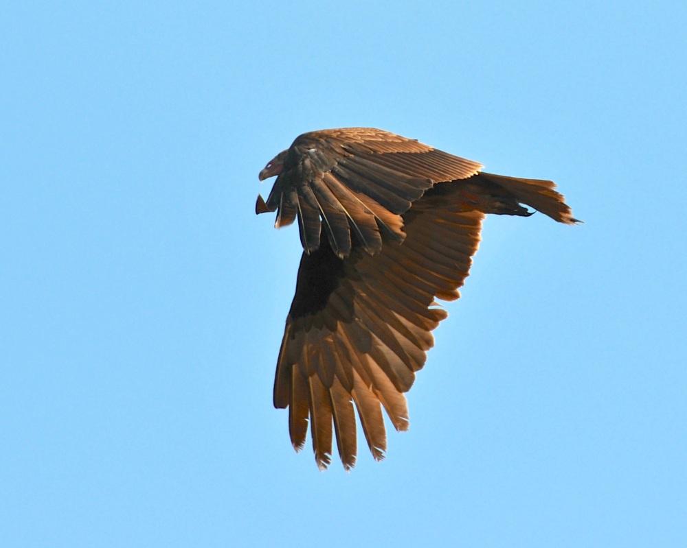Turkey Vulture, Abaco Bahamas (Nina Henry)