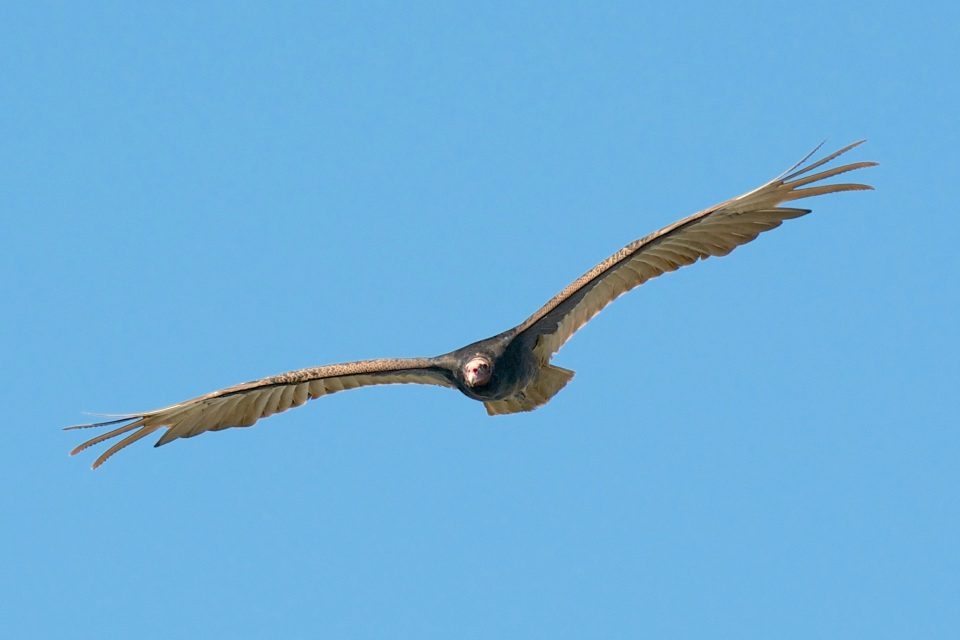Turkey Vulture, Abaco (Nina Henry)