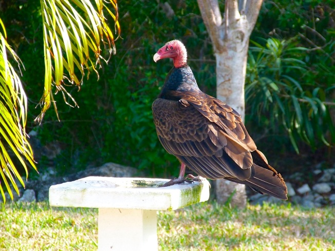 Turkey Vulture, Delphi, Abaco (Keith Salvesen)