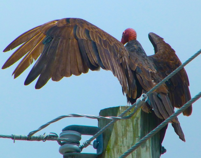 Turkey Vulture, Spread Wings, Abaco (Keith Salvesen)