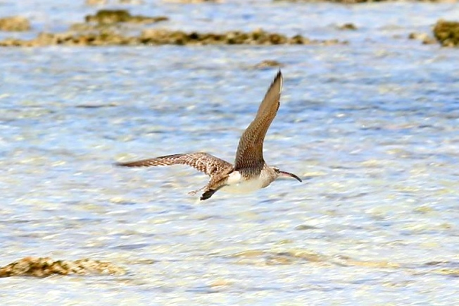 Whimbrel in flight, Abaco (Charmaine Albury)
