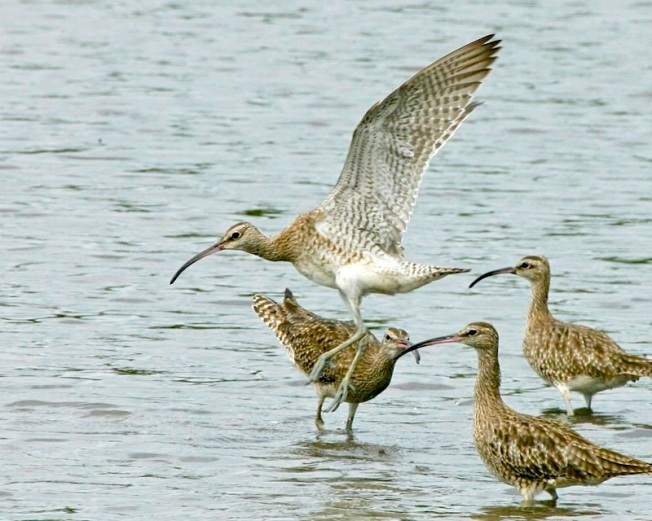 Whimbrel (Lip Kee wiki)