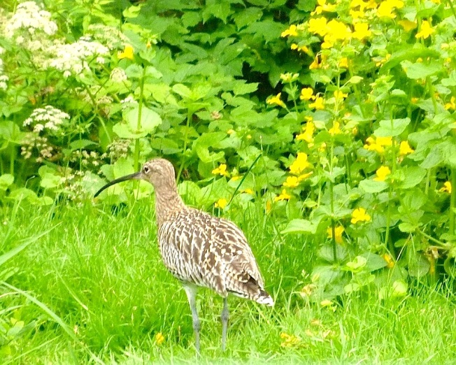 Whimbrel Pensthorpe 2010 copy