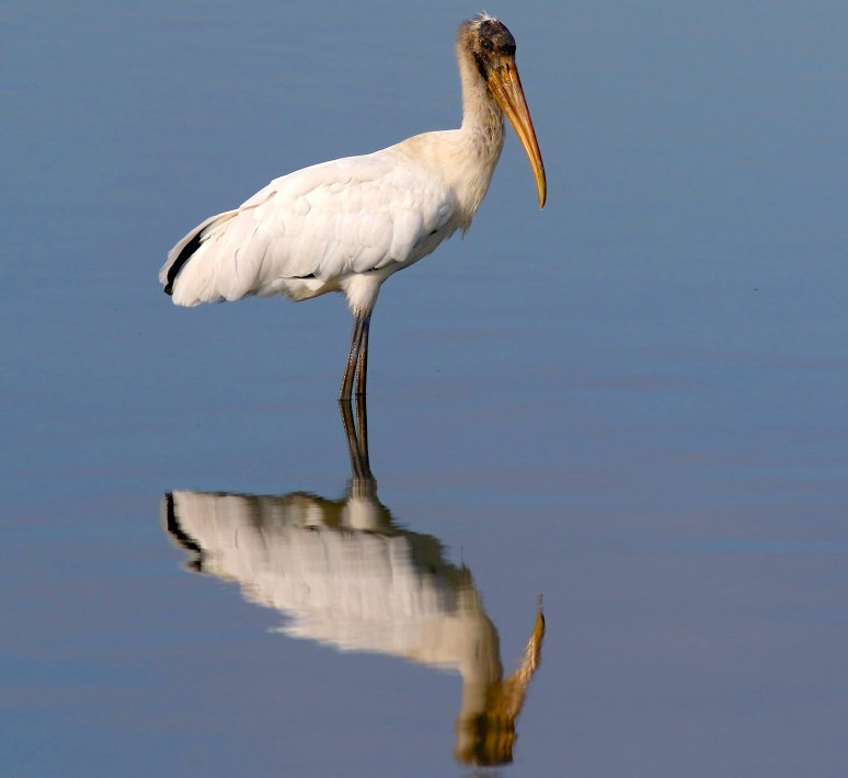 Wood Stork in water, Florida (Phil Lanoue)