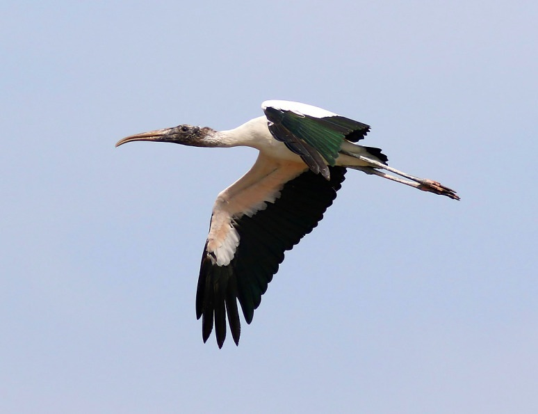 Wood Stork in Flight, Florida (Phil Lanoue)