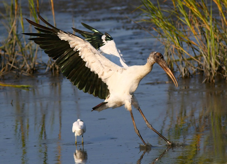 Wood Stork landing, Florida (Phil Lanoue)