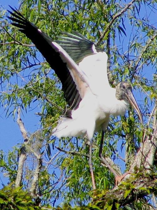 Wood Stork Fl. (Mehmet Karatay, Wiki)