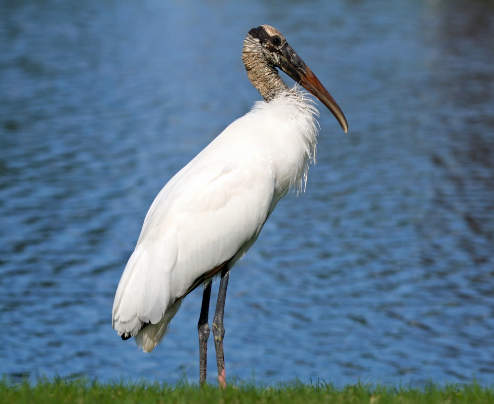 Wood Stork, Florida (Googie Man, Wiki)