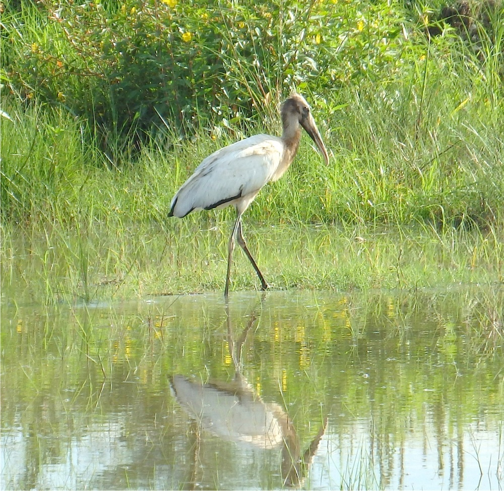 Wood Stork, Grand Bahama (Erika Gates) copy
