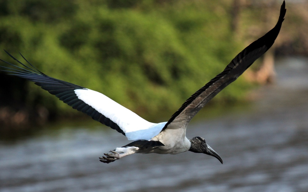 Wood stork in flight (Huhnra, Wiki)