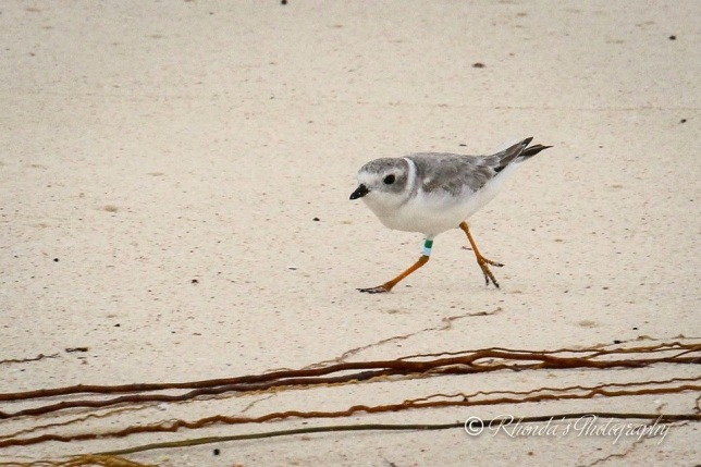 Piping Plover Tuna, banded in NJ, on Abaco 1 (Rhonda Pearce)