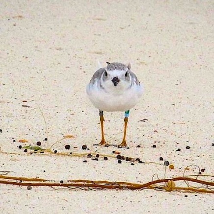 Piping Plover Tuna, banded in NJ, on Abaco 3 (Rhonda Pearce)