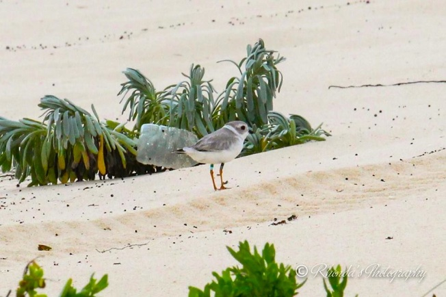 Piping Plover Tuna, banded in NJ, on Abaco 2 (Rhonda Pearce)