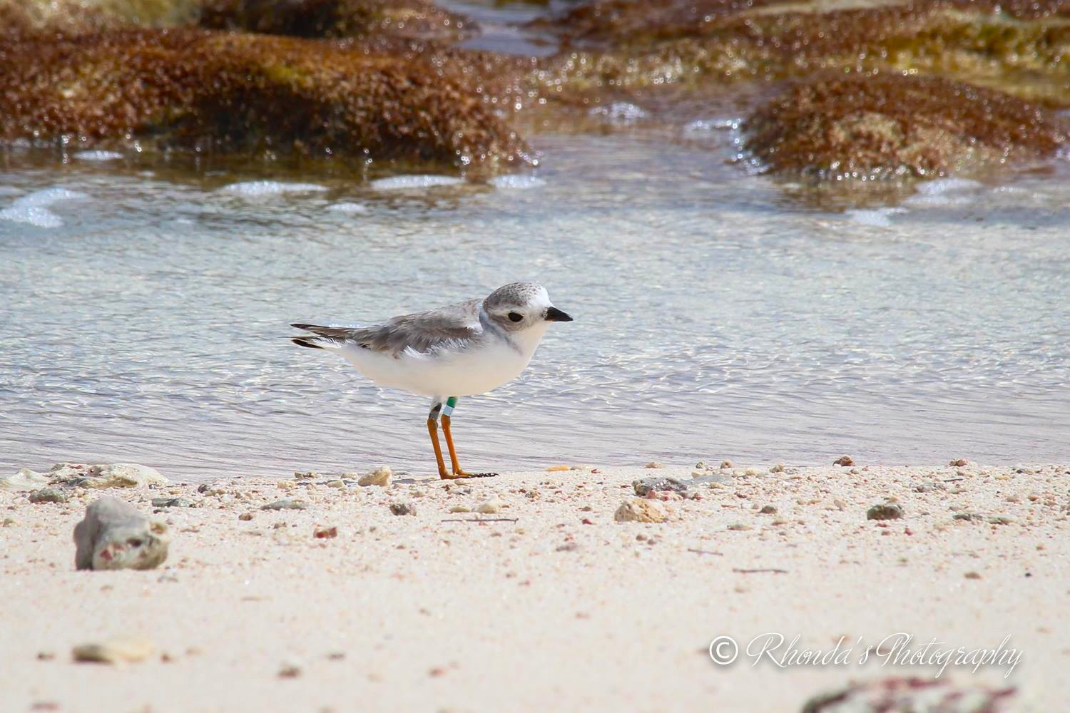 Piping Plover Tuna. Abaco. Rhonda Pearce