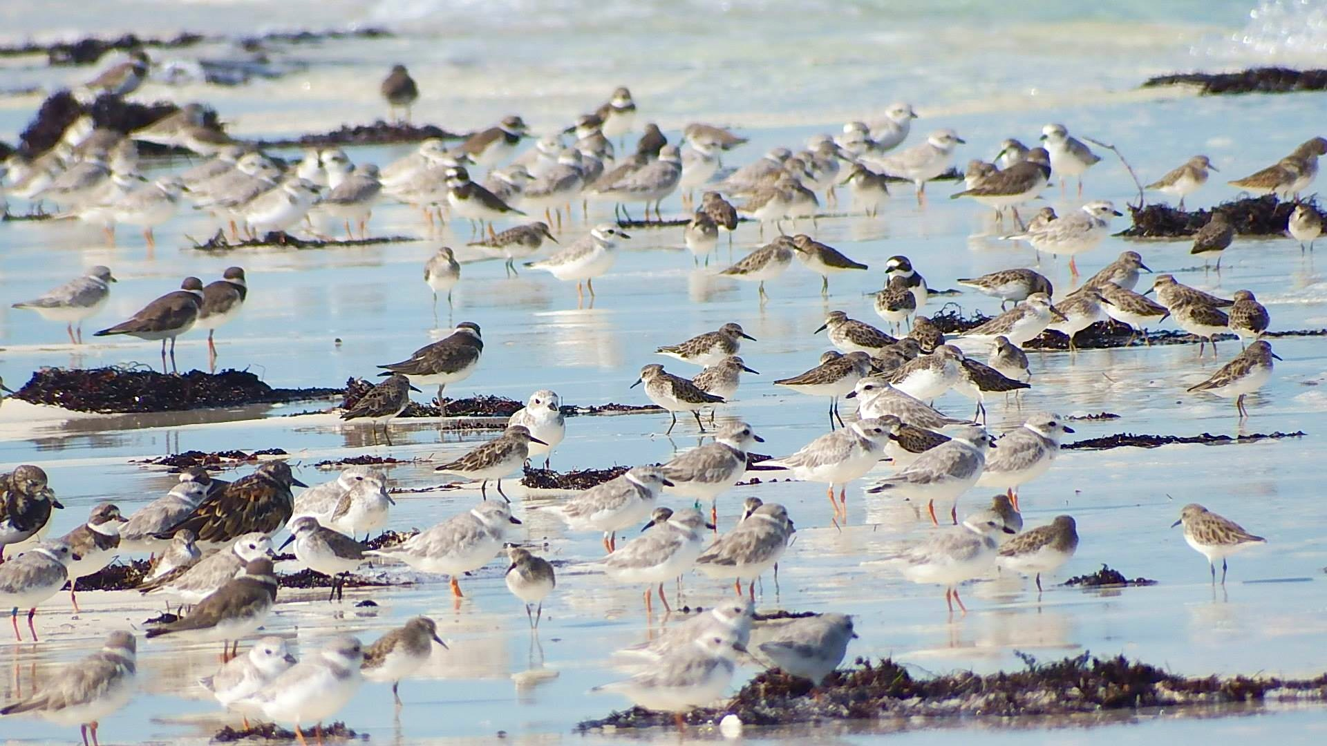 Piping Plovers & other shorebirds, Joulter Cays Andros