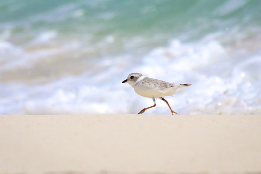 Piping Plover Tuna. Abaco. Rhonda Pearce 2