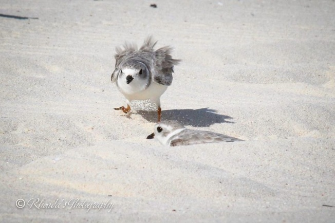 Piping Plover Tuna. Abaco. Rhonda Pearce 1