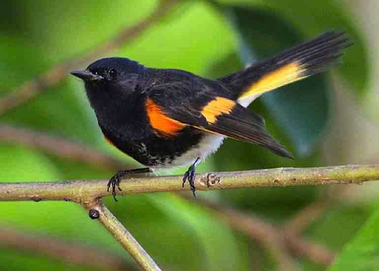 American Redstart (m) Abaco (Gerlinde Taurer)