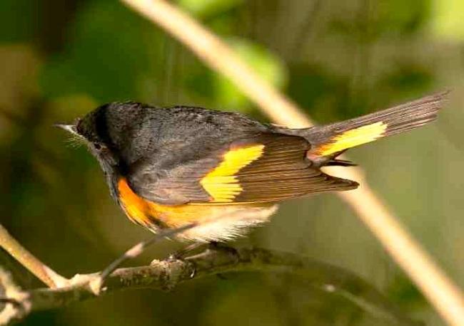 American Redstart (m) Abaco (Tom Sheley)