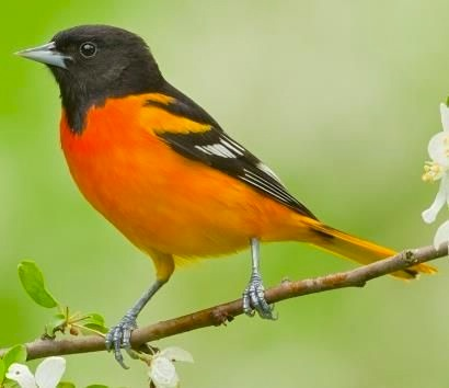 Baltimore Oriole (pinterest) copy