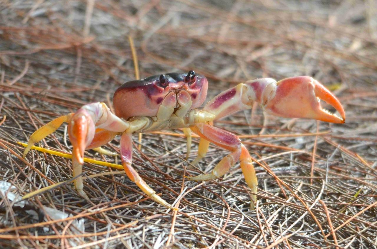 Black-backed Land Crab, Abaco 2 (Charles Skinner)