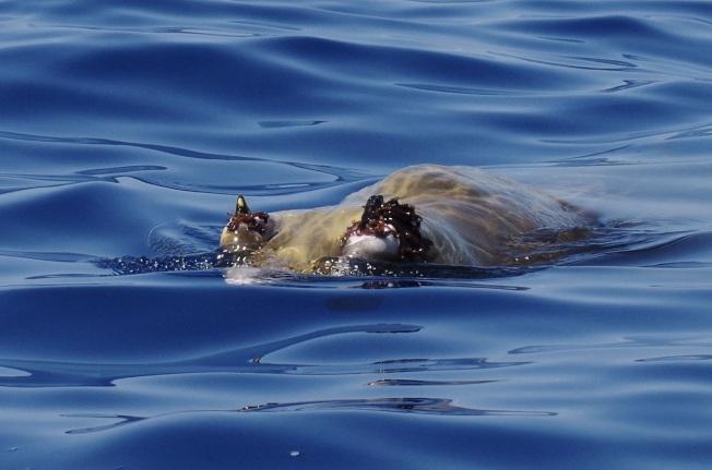 Blainville's Beaked Whale, Sandy Point, Abaco 14 (Keith Salvesen